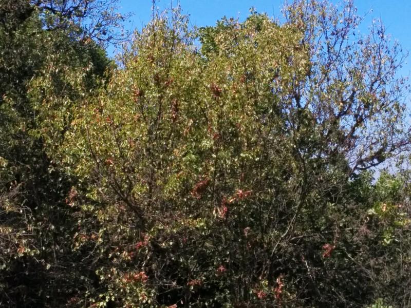 Shezif HaDov  - Prunus ursina