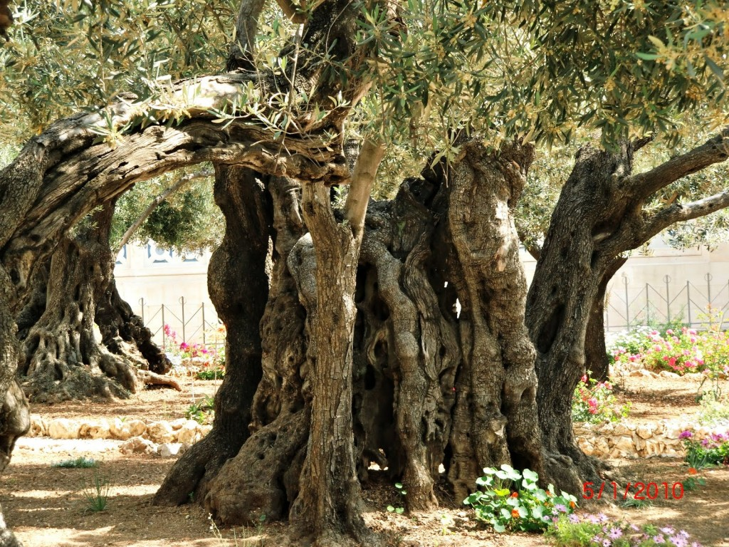 Gethsemane-tree at Church of All Nations